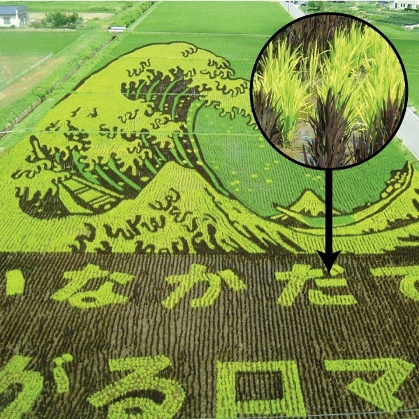 arroz, culturas, mundo, comida, alimentos, granos, cereales, arte, rarezas, freak
