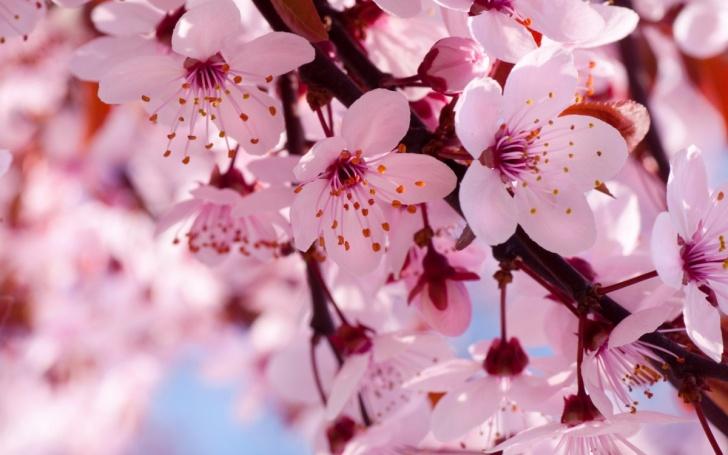 Celebra El Tradicional Hanami Japonés A Los Pies Del San Cristóbal