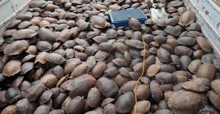 Tortugas, Filipinas, especie en extinción, rescatadas, China, comercio negro